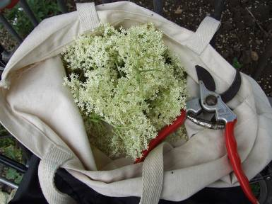 Elderflowers collected from the edge of the garden