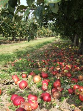 An apple orchard at Brogdale farm