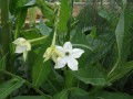 Nicotiana Sylvestris grown by Lydia