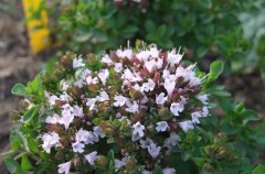 Oregano grown by Norma