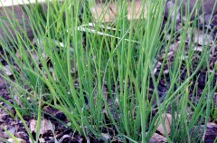 Chives grown by Dasha
