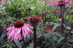 Echinacea grown by Nina
