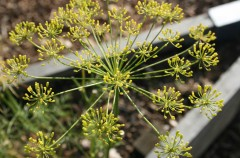 Dill grown by Dasha