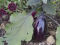Aubergine grown by Amin