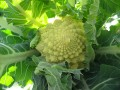 Broccoli 'Early Romanesco' (Heirloom Variety) grown by Louis