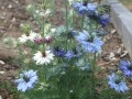 Nigella from Louise sown by Nina