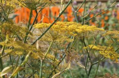 Bronze Fennel grown by Natasha