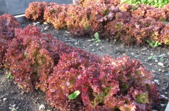 Lettuce 'Lollo Rossa' sown by George