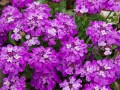 Candytuft Planted out by Dasha