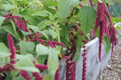 Amaranthus planted out by Hamish