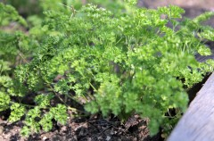 Parsley 'moss curled' sown by Hamish