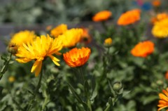 Self Seeded Marigolds