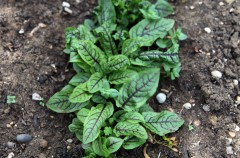Sorrel 'Red Veined' sown by Vicky