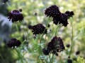 Divided Scabiosa