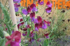 Sweet Pea 'Matacuna' planted by Vicky