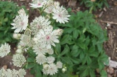 Astrantia Major donated by Nina
