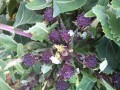 Purple Sprouting Broccoli donated by Terri