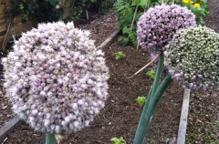 Leeks 'Blue Solaise' sown by Alison