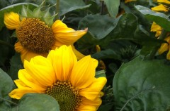 Sunflower 'Music Box'