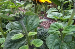 Sunflower 'Sonja'
