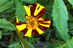 French Marigold 'Striped Marvel'
