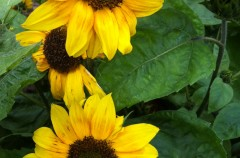 Helianthus 'Music box'