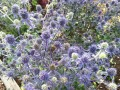 Divided Eryngium grown by Nina